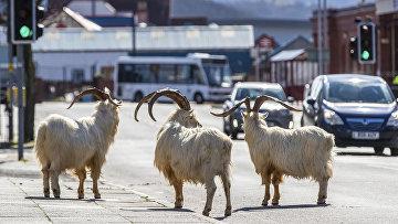 Эти козы обычно обитают на скалистом мысе Грейт-Орм в Уэльсе