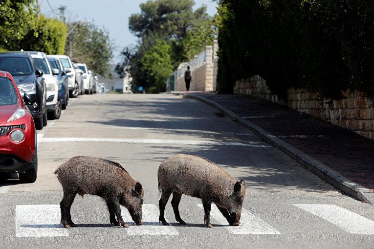 Дикие кабаны переходят дорогу в жилом районе Хайфы