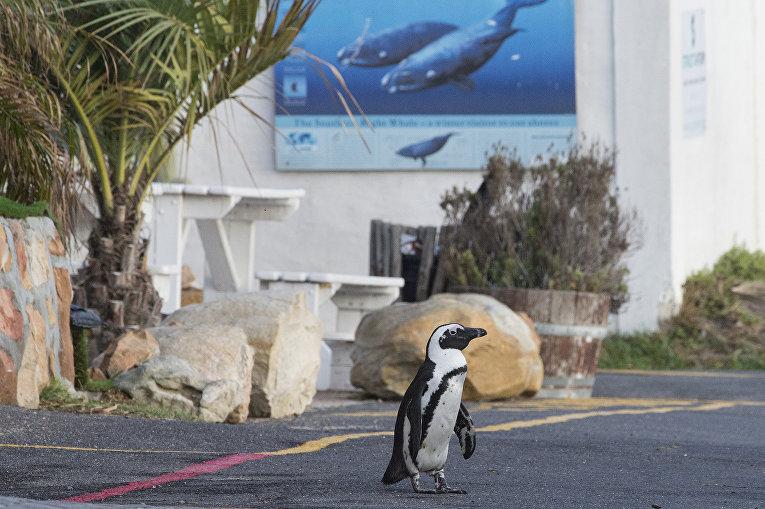Пингвин на улице в Кейптауне, ЮАР