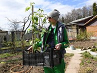 """Женщина, находящаяся на самоизоляции из-за коронавируса на даче, с рассадой томатов на садовом участке СНТ """"Березка"""" в Можайском районе Московской области."""