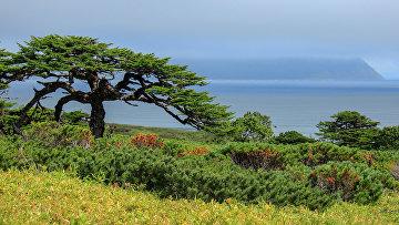 Лиственница курильская на острове Итуруп (остров южной группы Большой гряды Курильских островов).