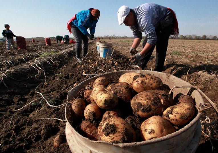 Сезонные рабочие собирают урожай картофеля