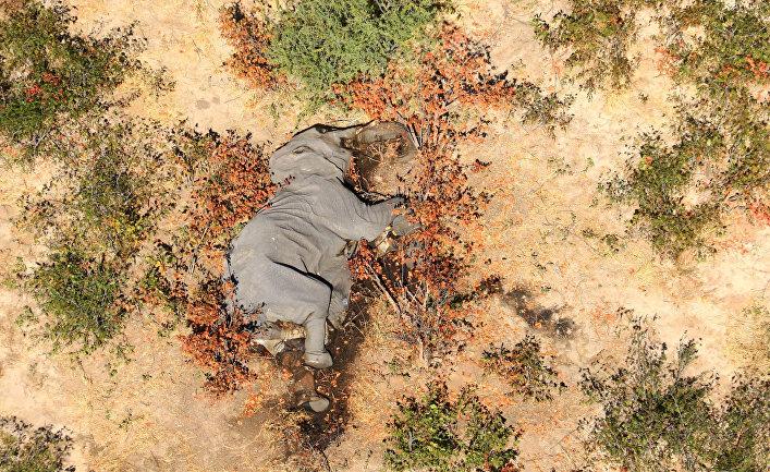 Мертвый слон в дельте реки Окаванго, Ботсвана