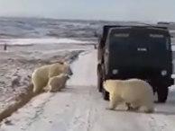 Белые медведи залезли в мусоровоз