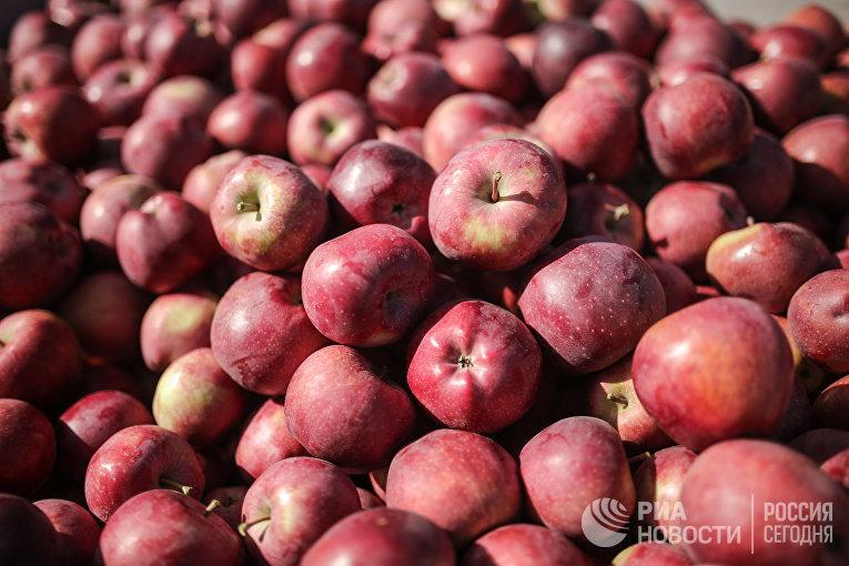 Сбор урожая яблок в Крыму