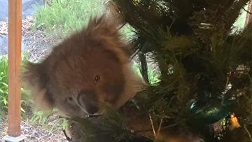 Коала оказалась на рождественской елке в австралийской семье