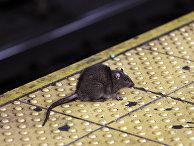 Крыса на улице в Нью-Йорке