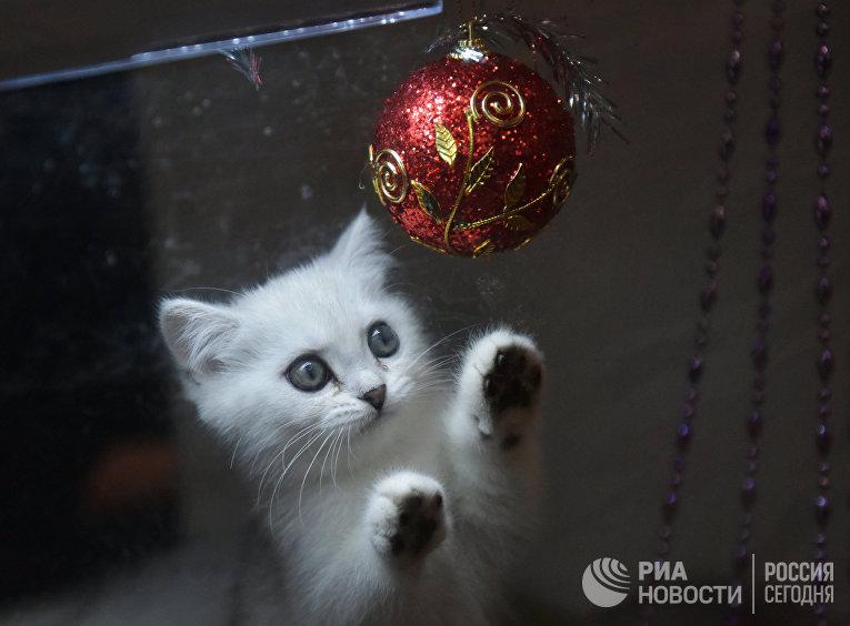 """Выставка кошек """"Зимний кубок Кот-Инфо"""" в Москве"""