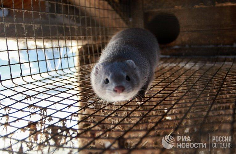 Норка в вольере зверохозяйства в Иркутской области
