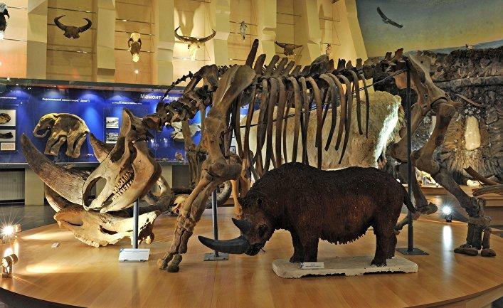 Скелет шерстистого носорога в музее мамонта в Якутске.