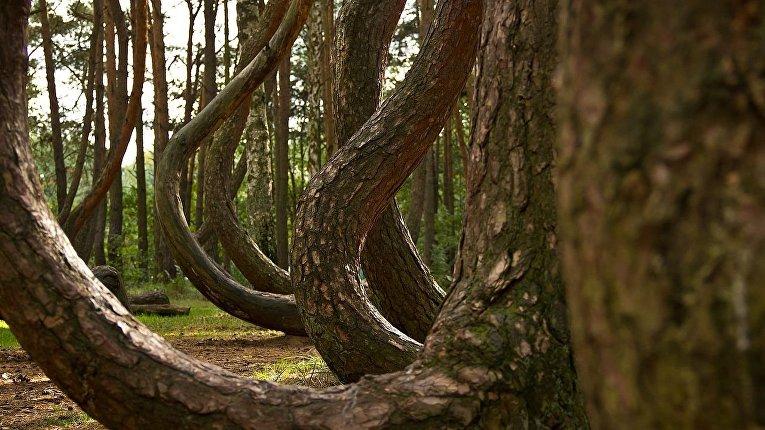 Кривой лес, Польша