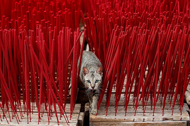 Кошка среди ароматических палочек в преддверии Лунного Нового года в Тангеранге