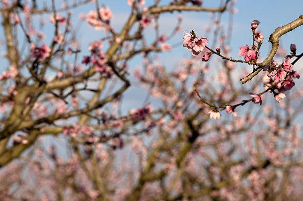 Персиковые деревья в Верии, Греция