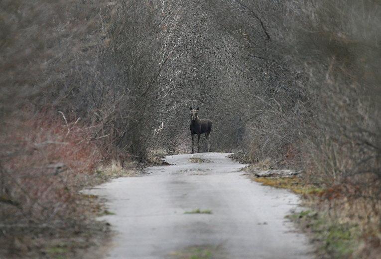 Лось на лесной дороге недалеко от Чернобыля