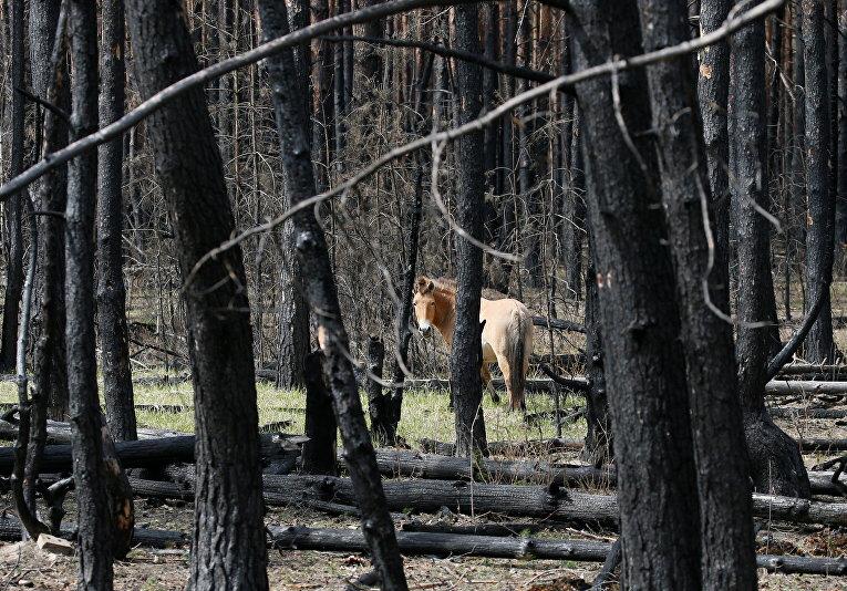 Лошадь Пржевальского в выжженном лесу в Чернобыльской зоне отчуждения