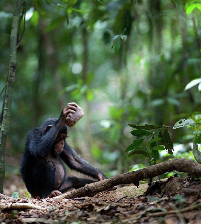 Шимпанзе разбивает орех с помощью камня
