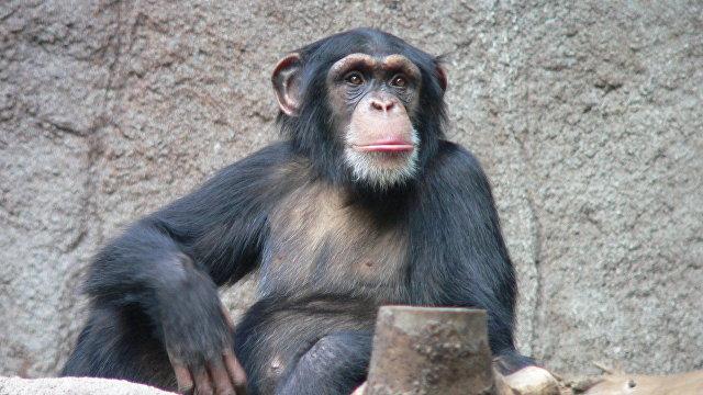 The Sun (Великобритания): с ума сойти! Каждый пятый считает, что победит в драке с шимпанзе, хотя на самом деле у них нет шансов