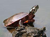 Расписная черепаха, подвид американских пресноводных черепах