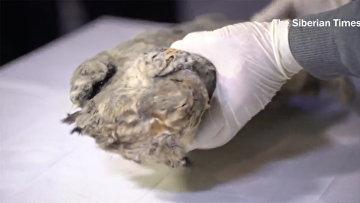 В Сибири найден прекрасно сохранившейся пещерный львенок